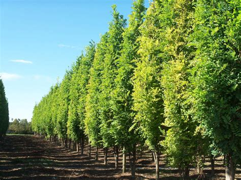 alberi per giardino alberi da ombra alberi scegliere gli alberi da ombra