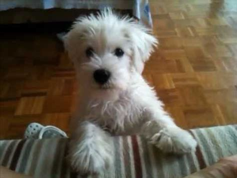 white schnauzer puppy my white miniature schnauzer puppy asking for food his own way