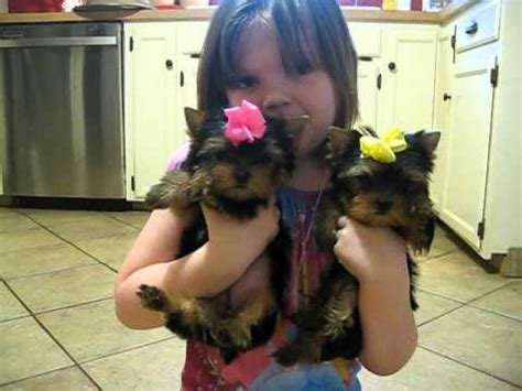 applehead yorkie tiny apple yorkie puppies for sale