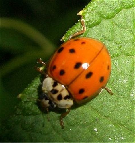 a bug of a different color the benefits a bug of a different color the benefits of ladybugs