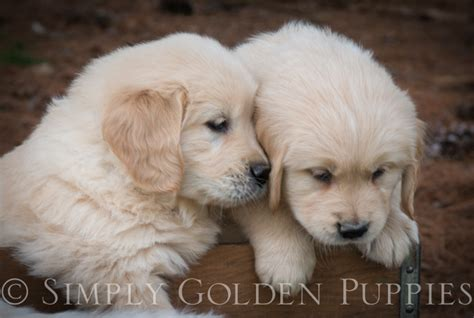 golden retriever breeders in kansas golden retriever puppies for sale in kansas city dogs our friends photo