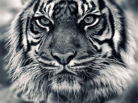 wallpaper black tiger hd white tiger wallpapers hd wallpaper cave