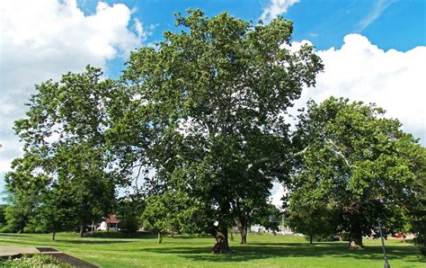 american sycamore american sycamore a crown fit for a king venerable trees