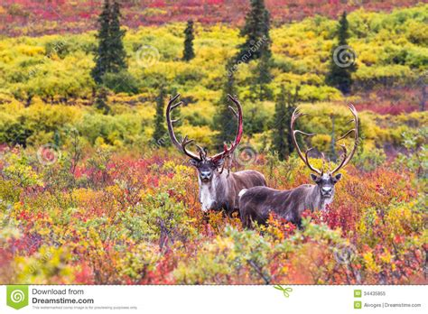 Deer Wall Murals a pair of caribou in autumn in denali national park in