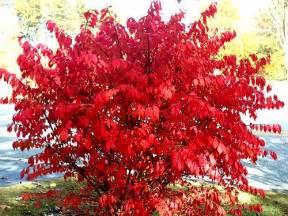quot burning bush quot euonymus alatus common name quot burning bush flickr