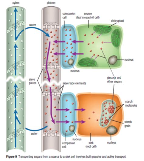 Sink Cells rbhs sbi3u03 transport in vascular plants sugars