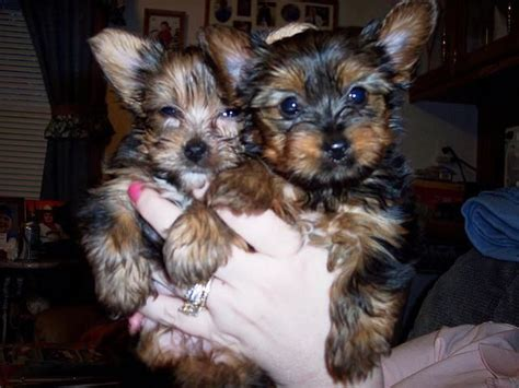 yorkie puppies for free in utah terrier in kanab utah two teacup yorkie puppies for free adoption now