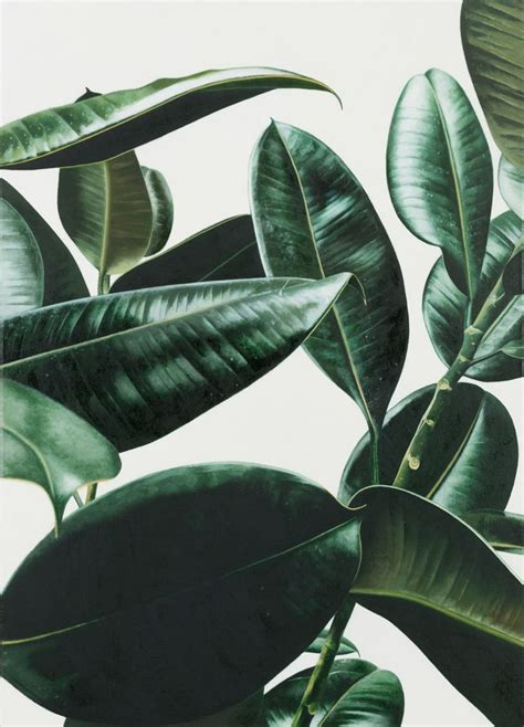 and green foliage plants rubber plant 2013 by oliver osborne akrasia