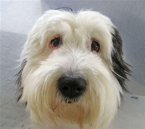 rescue washington state sheepdog rescue of washington state breeds picture