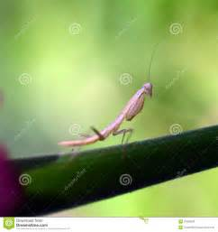 praying mantis for garden pest praying mantis insect flower stock photo image 41935033