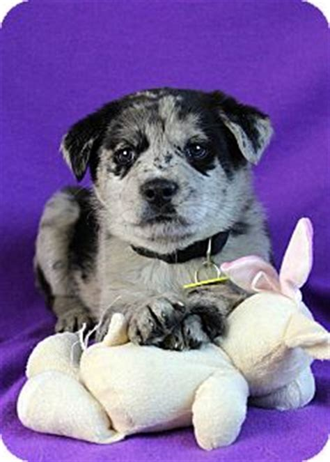 catahoula golden retriever mix sabrina adopted puppy westminster co golden retriever catahoula leopard mix