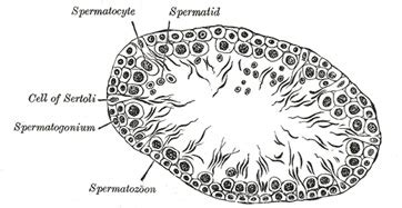 transverse section of mammalian testis sertoli cells function concept video lesson