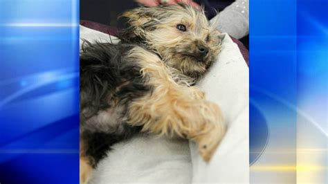 yorkie with legs yorkie puppy with 2 broken legs abandoned at humane society wpxi