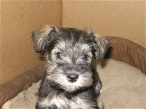 miniature schnauzer puppies for sale in indiana miniature schnauzer puppies in iowa