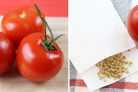Tomaten Aus Samen Ziehen 5364 by Tomaten Pflanzen Selber Ziehen So Gelingen Anzucht Und