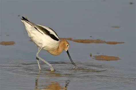 nature s archive blog american avocet