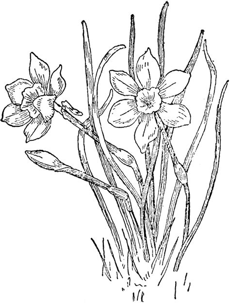 Narcissus Rupicolus Clipart Etc Coloring Page New York