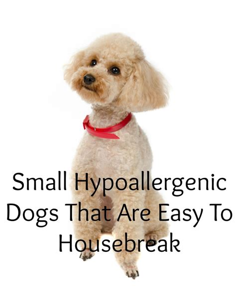 housebreak puppy small hypoallergenic dogs that are easy to housebreakdog vills