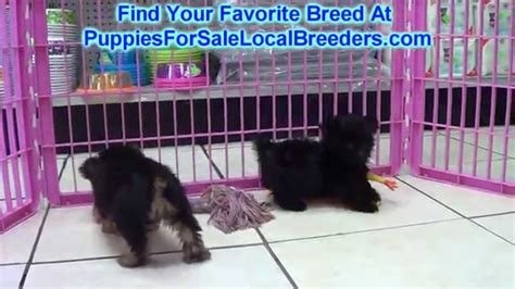 yorkie puppies for sale in denver puppies dogs for sale from breeders next day pets breeds picture