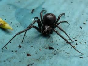 Garden Spider Or False Widow Photo