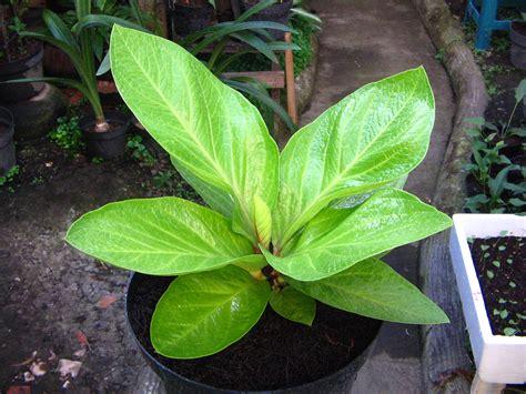 galeri tanaman hias info tanaman hias terkini  terpercaya