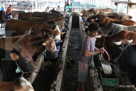 Bibit Sapi Australia 11 000 indukan sapi australia segera tiba