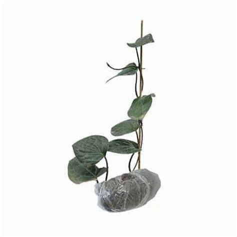 Bibit Tanaman Hias Sirih jual tanaman sirih hitam bibit