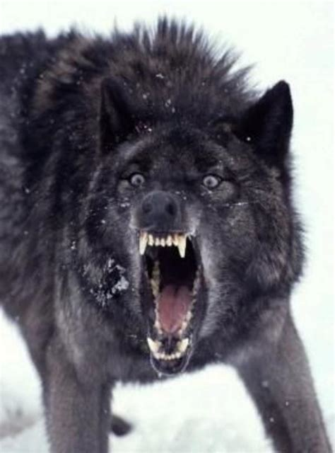 Angry Wolf Meme - angry wolf meme tumblr image memes at relatably com