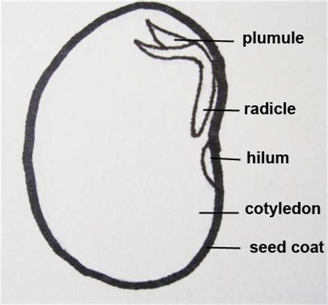 bean seed diagram bean diagram 2 copy