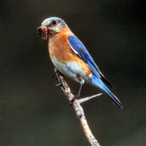 new york state bird eastern bluebird new york state