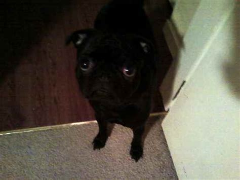 rat terrier and pug mix pug rat terrier mix breeds picture