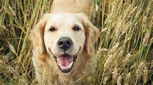common cancer golden retrievers made chemicals giving our pets cancer features abc environment australian