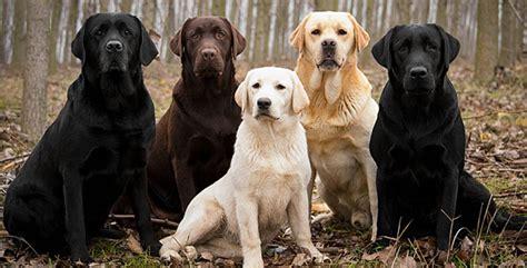 how do golden retrievers get lovable labradors
