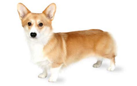 pembroke welsh corgi dog breed information, pictures