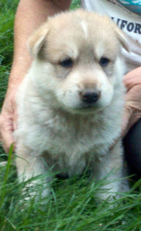arctic wolf puppies for sale wolf wolves dogs wolfdogs puppies pups pup cubs for sale adoption wolf sanctuary