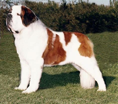 how to a st bernard pet advice ideas guides 187 archive 187 how to care for a bernard