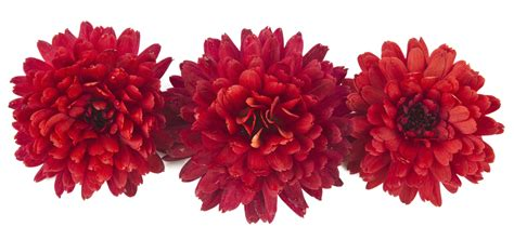 Chrysanthemum by The Meaning Of The Chrysanthemum Flower Eastern Floral