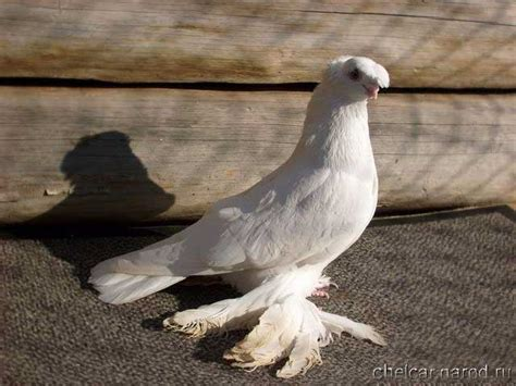 uzbek pigeons pigeon photos slide 2009 collection of uzbek pigeons russia siberia