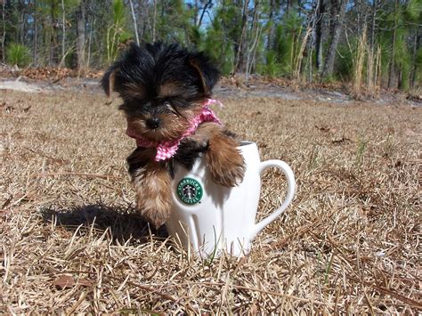 a baby yorkie yorkies images baby hd wallpaper and background photos 16623969