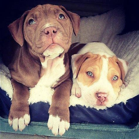 adorable pitbull puppies adorable pit bull puppy 15
