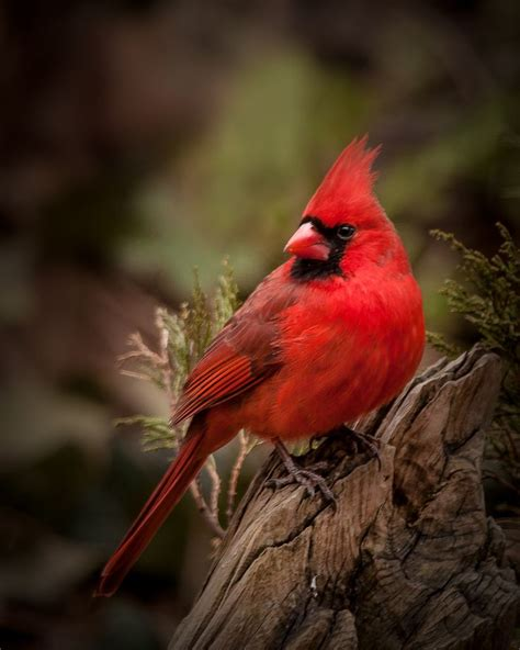 northern cardinal by blair turrell bird photos pinterest