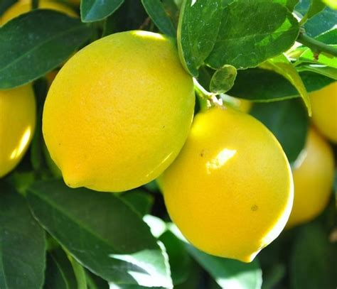 fiori limone limone citrus limon citrus limon piante da giardino