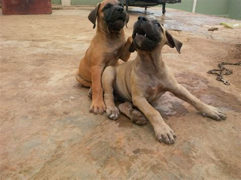 Puppies For Giveaway - pure breed boerboel puppies for giveaway sales pets nigeria