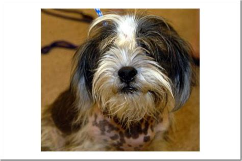 houston shih tzu rescue shih tzu rescue
