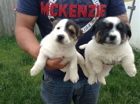 boxweiler puppies for sale apricot maltipoo book covers