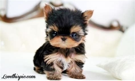 yorkie shire teacup yorkie puppy teacup yorkie shire teacup