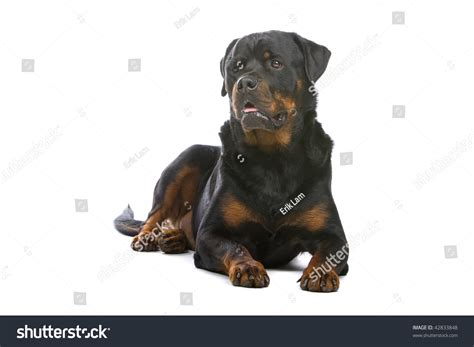 rottweiler white white rottweilers rottweilers rottweiler brahma rooster and rottweiler in front of