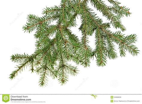 christmas tree branch royalty free stock images image