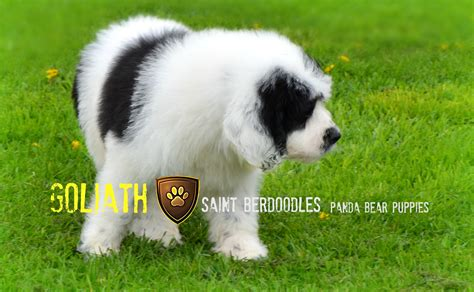 shipping a puppy by air cost past panda and berdoodle puppies for sale