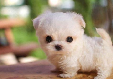 real puppies thursday s cutest yes he s a real even if he can fit in a teacup